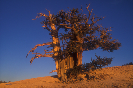 Bristle Cone Pine in desert at sunset.