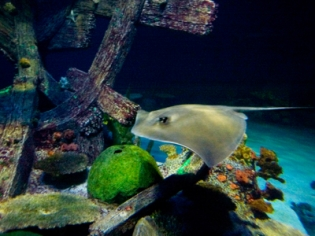 Sting Ray at Shark Reef Aquarium