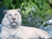 The White Tiger Right in our own Backyard