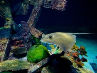 Sting Ray at Shark Reef Aquarium